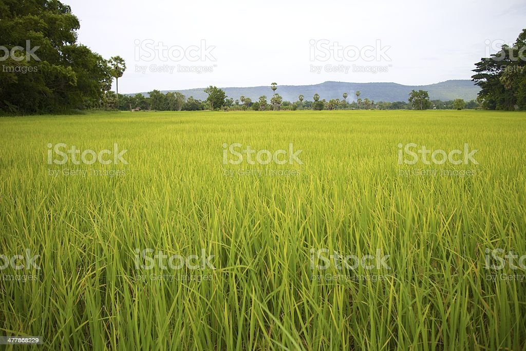 Season rice harvest. royalty-free stock photo