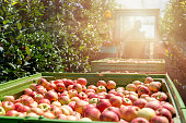 Tractor pulling wagons full of fresh organic apples in an orchard. Apple harvesting season.