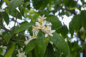 Seasonal blossom of orange tree in orchard, white flowers with strong smell, close up