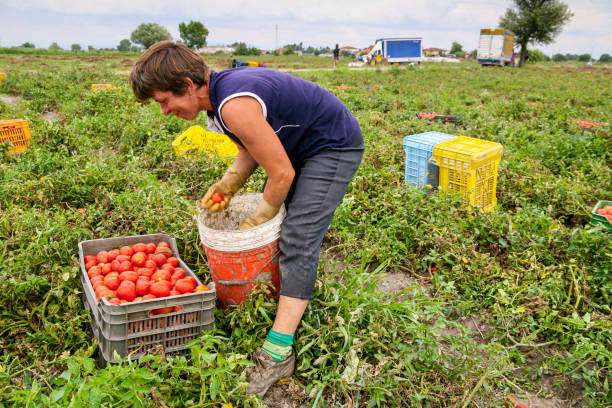 A seasonal farm worker in a camp of tomatoes in Campania southern Italy Casal di Principe, Italy, August 09 -- A seasonal farm worker from Eastern Europe work in the harvest of tomatoes in a cultivation in Campania, in southern Italy, a few kilometers from Caserta. migratory workers stock pictures, royalty-free photos & images