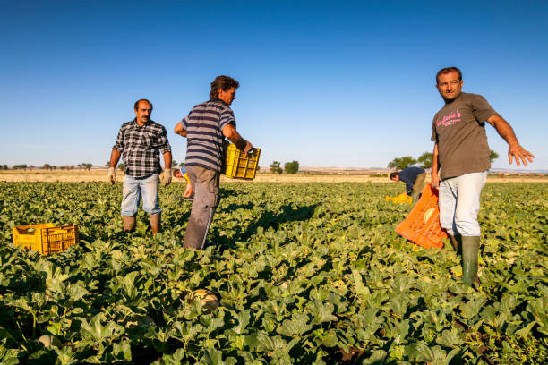 Seasonal farm workers in a melons field in Puglia in southern Italy Cerignola, Foggia, Italy, August 07 -- Some seasonal farm workers from Eastern Europe work in the harvest of melons in a cultivation near Cerignola, in Puglia region in southern Italy. migratory workers stock pictures, royalty-free photos & images