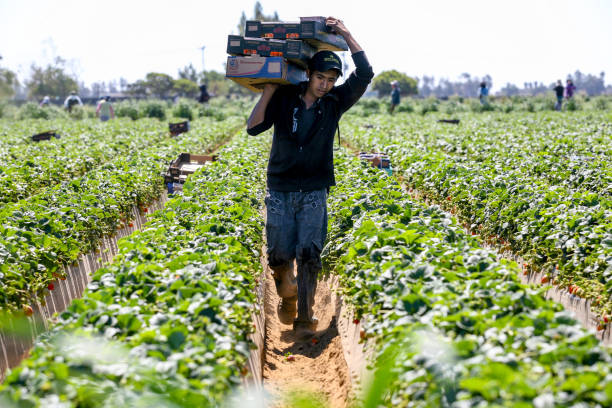 A daily farmer work hard under the sun in a strawberry field in Mexico San Quintin, Baja California, Mexico, March 28 - A seasonal farmer work hard under the sun during the strawberry harvest in the San Quintin area, north of the Baja California peninsula in northwestern Mexico. migratory workers stock pictures, royalty-free photos & images