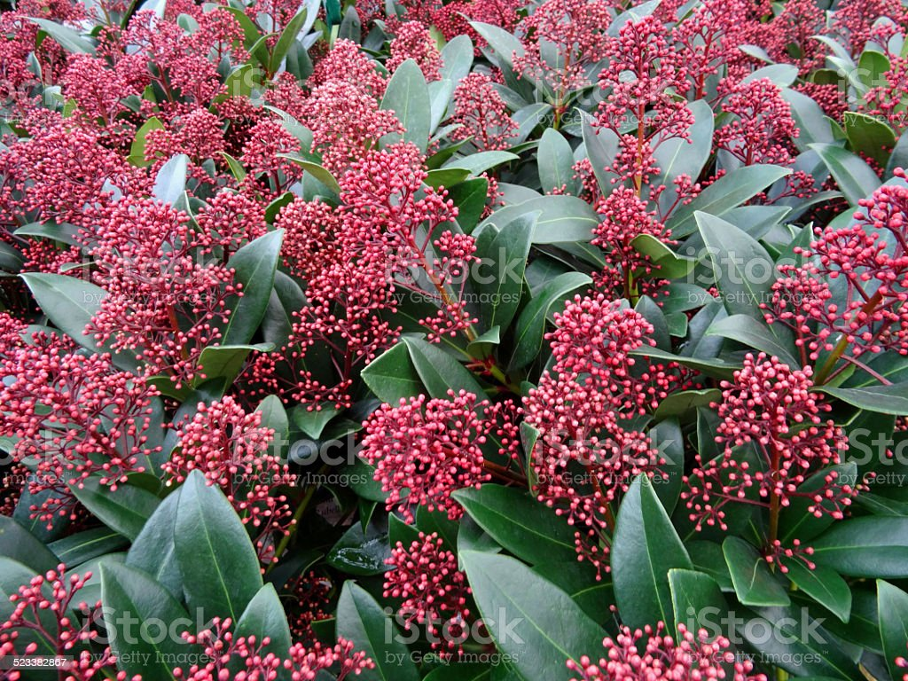 rouge skimmia fleurs de saison dhiver evergreen shrub photos et plus d 39 images de acide istock. Black Bedroom Furniture Sets. Home Design Ideas