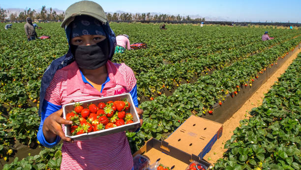 Seasonal worker in a strawberry field in Mexico San Quintin, Baja California, Mexico, March 28 - A seasonal agricultural worker in a strawberry field during the harvest, covered by a hood to protect himself from the sun and heat, in the San Quintin area, on the north of Baja California peninsula. migratory workers stock pictures, royalty-free photos & images
