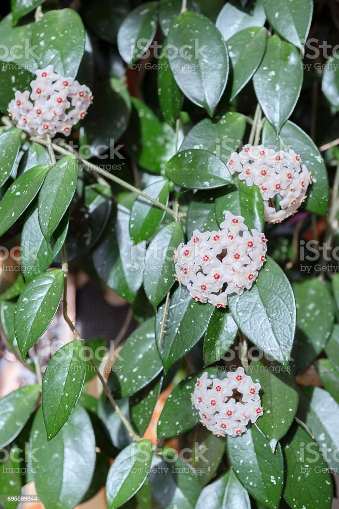 Hoya Plant - How to Grow and Flower the Indestructible ...