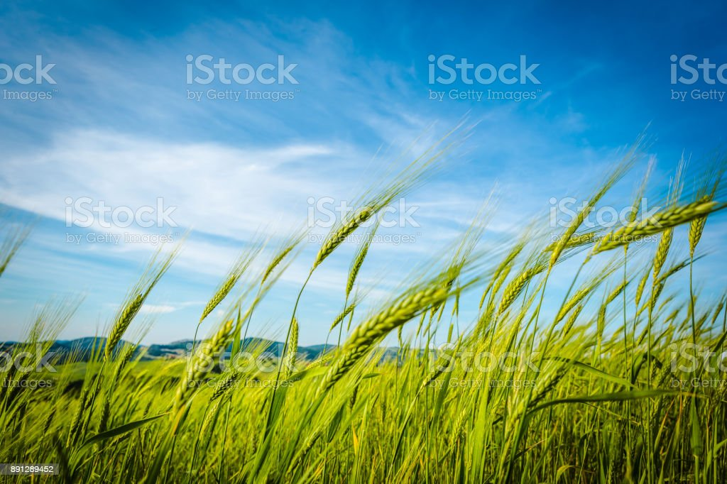 4 Seasons. Green wheat field swaying in the breeze under a blue sky. Tuscany, Italy stock photo