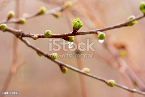 drops of spring rain on the opening buds. selective focus, shallow depth of field