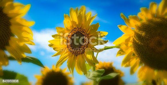 istock 4 Seasons Sunflower Close-up 845955838