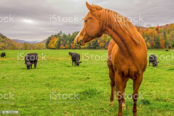Seasonshorse looking at cows in vermont in autumn picture id878012738?b=1&k=6&m=878012738&s=612x612&h=gg0nldf3briviv01oha5kg  czibizul6ffmqayylr4=