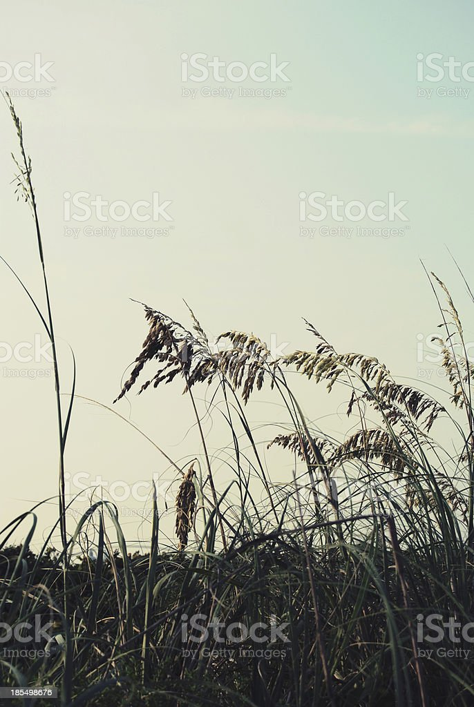 Seat Oats - Royalty-free Cereal Plant Stock Photo