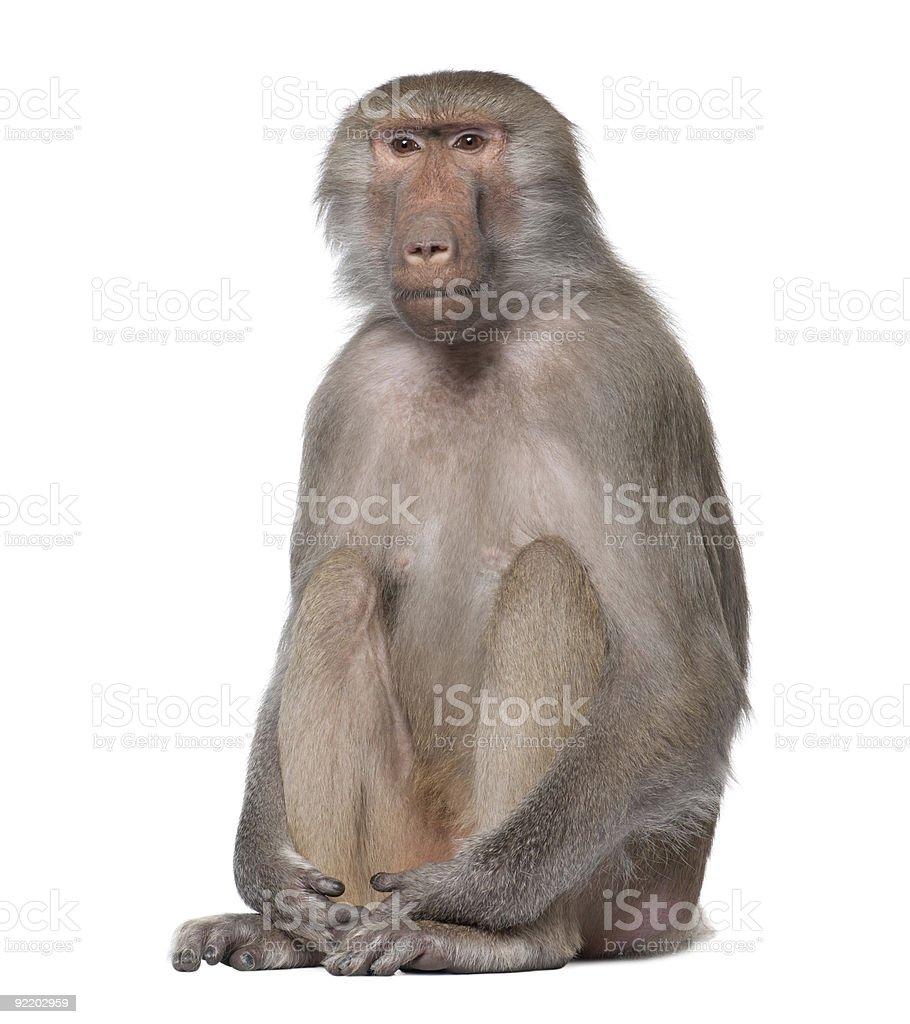 Seated baboon, Simia hamadryas on white background stock photo
