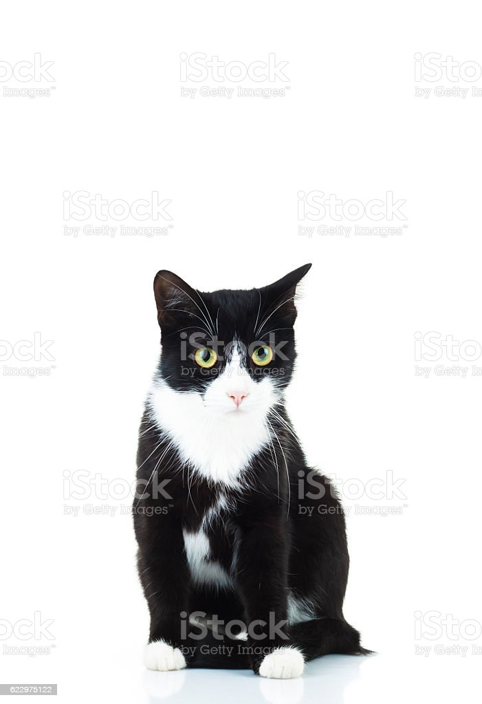seated black and white cat stock photo