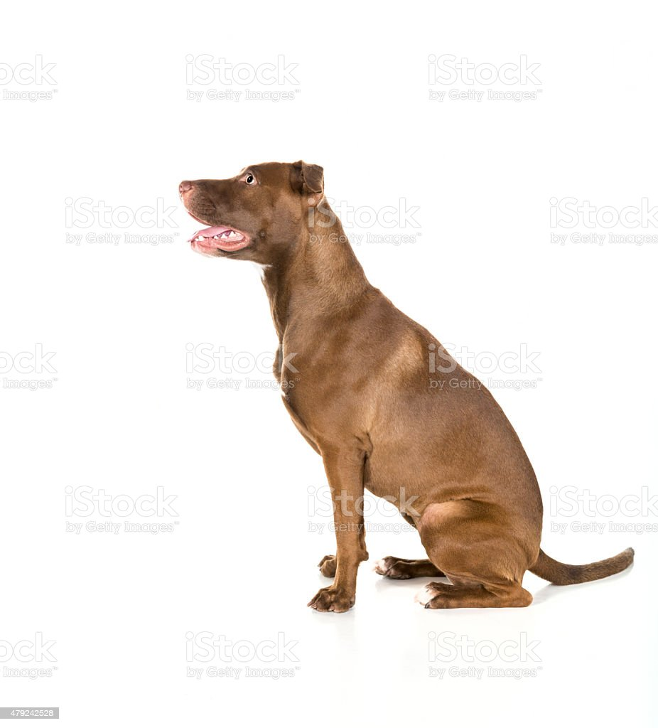 seated dog isolated on white in profile stock photo more pictures of 2015 istock. Black Bedroom Furniture Sets. Home Design Ideas
