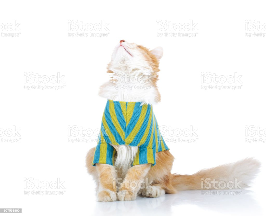 seated dressed cat looks up to something stock photo