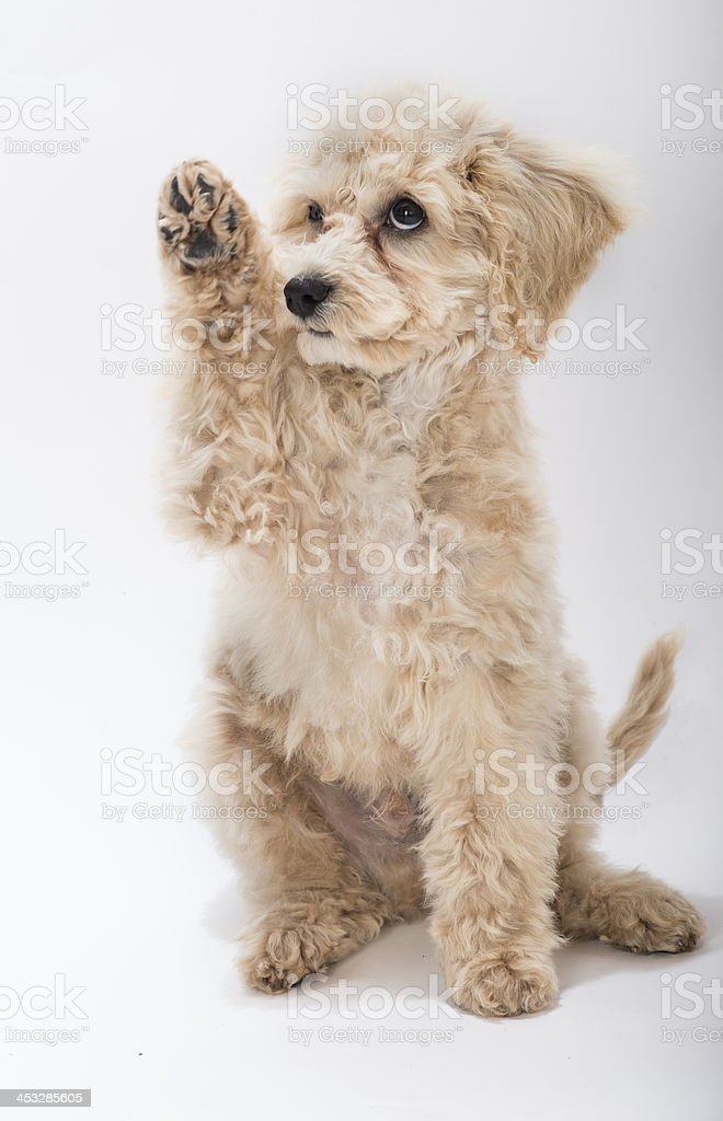 Seated Tan Cock-a-Poo Puppy Raising Paw stock photo