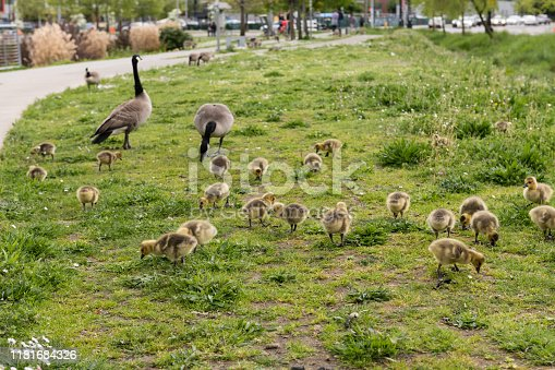 Canada Geese and their chicks at South Lake Union late in the day.