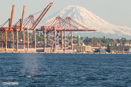 A Humpback Whale in Elliott Bay during the Washington Covid-19 Stay at Home Order.