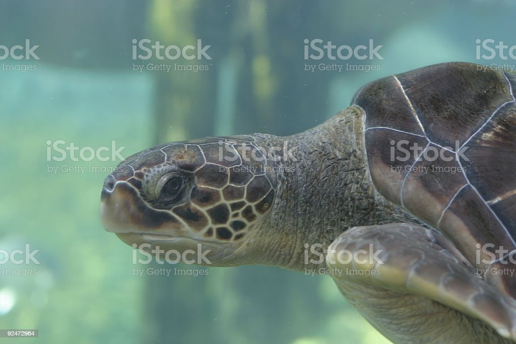 Seaturle head royalty-free stock photo