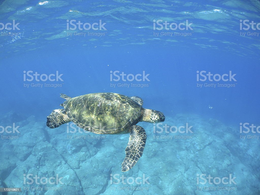 Seaturtle Cruising royalty-free stock photo