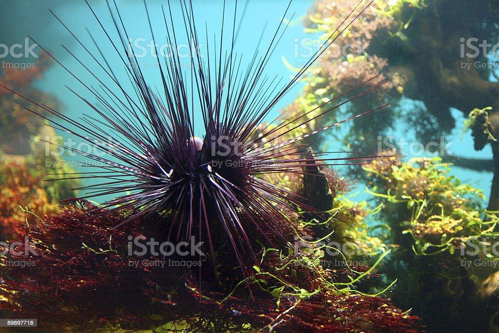 sea-urchin royalty-free stock photo