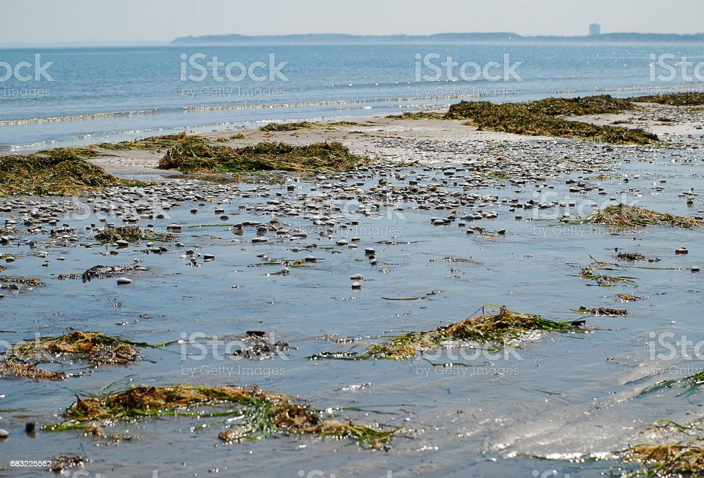 Seaweed and shells at the beach of Scharbeutz, Germany royalty-free stock photo