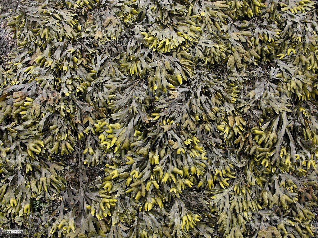 Seaweed background pattern royalty-free stock photo
