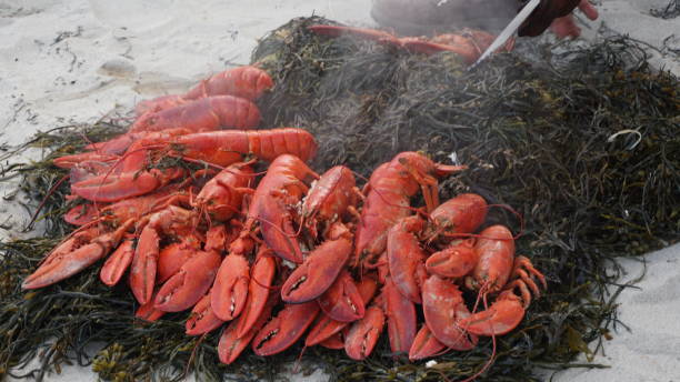 Seaweed Bed of Lobster stock photo