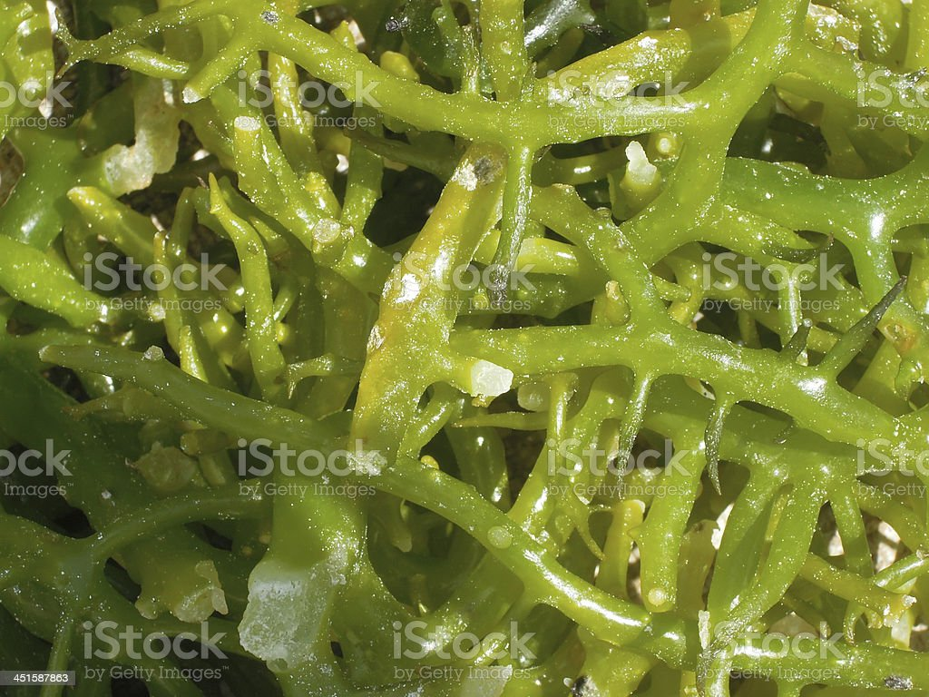 Seaweed cultivation for background royalty-free stock photo
