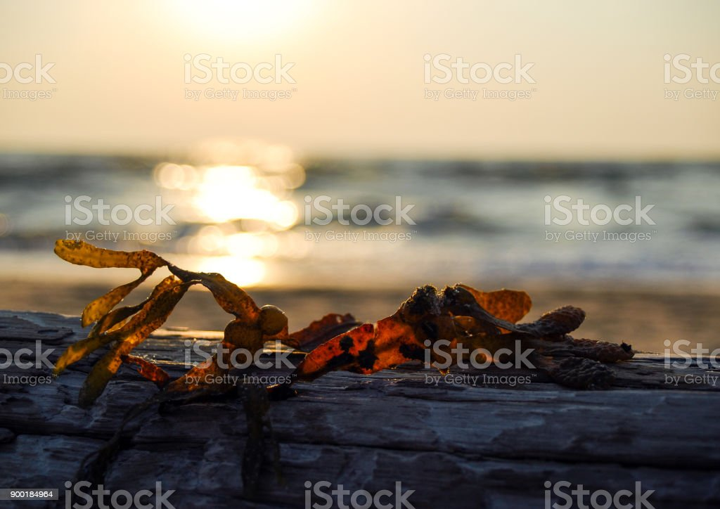 Seaweed drying on a log at sunset stock photo