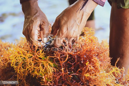 Selective focus on farmer's hands collecting seaweed at seaweed farm in Nusa Penida, Indonesia