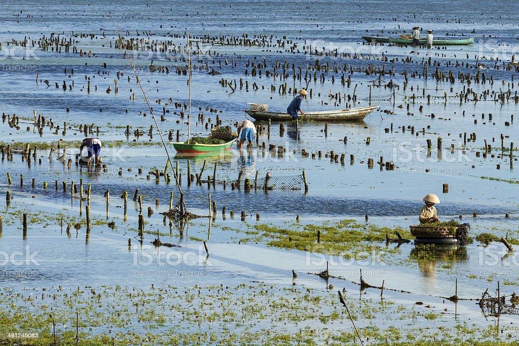 Seaweed farmer in Bali stock photo