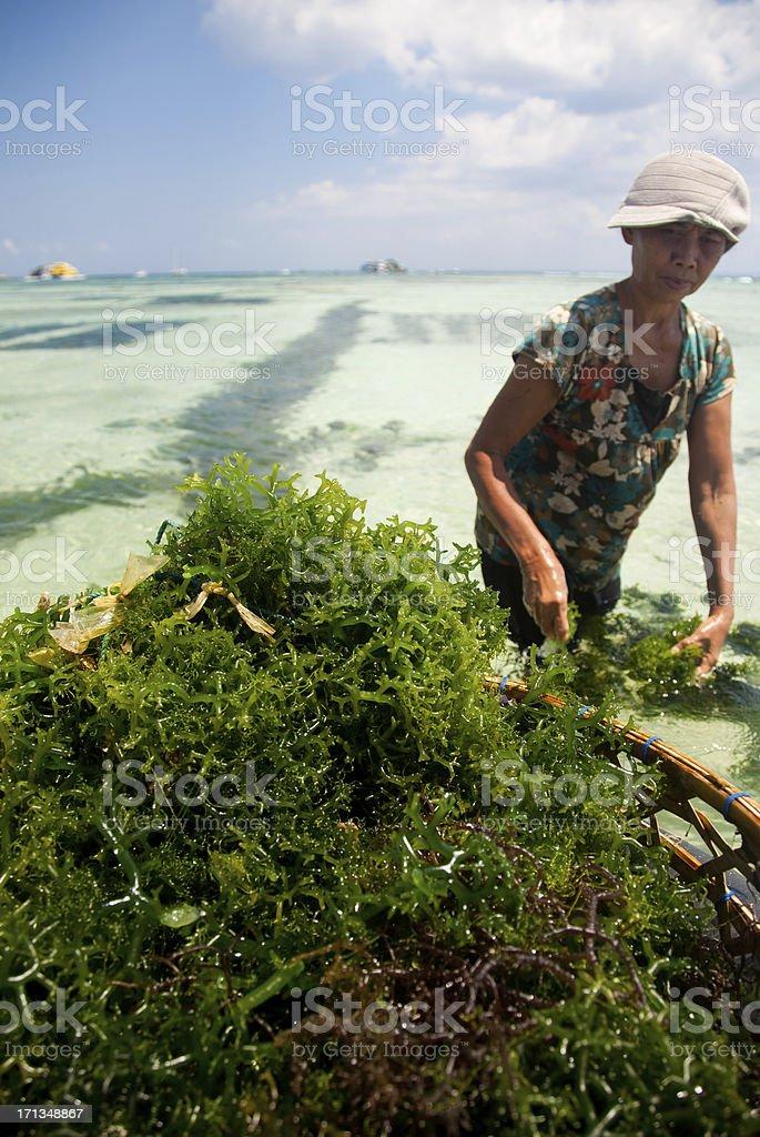 Seaweed Farming royalty-free stock photo
