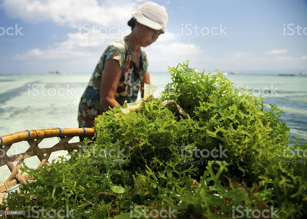 Seaweed Farming stock photo
