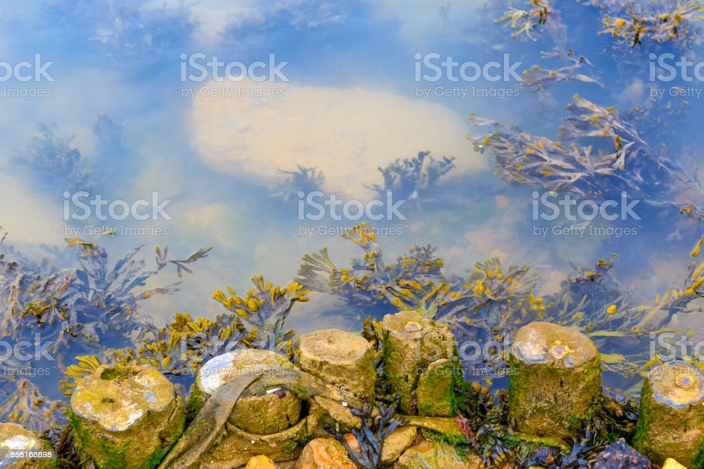 Seaweed growing at the riverbank of Blyth in Southwold, UK stock photo