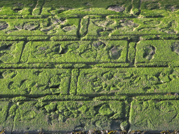 zeewier groeit op de stenen van de kademuur t het strand van Oostende foto