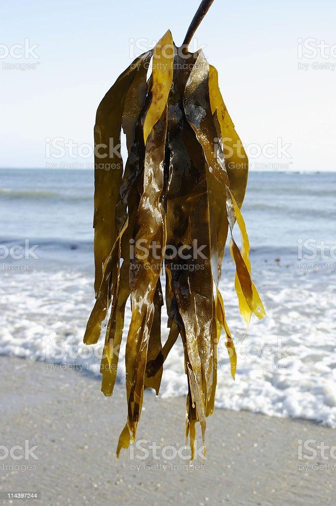 Seaweed Held Up Against Sea Background royalty-free stock photo