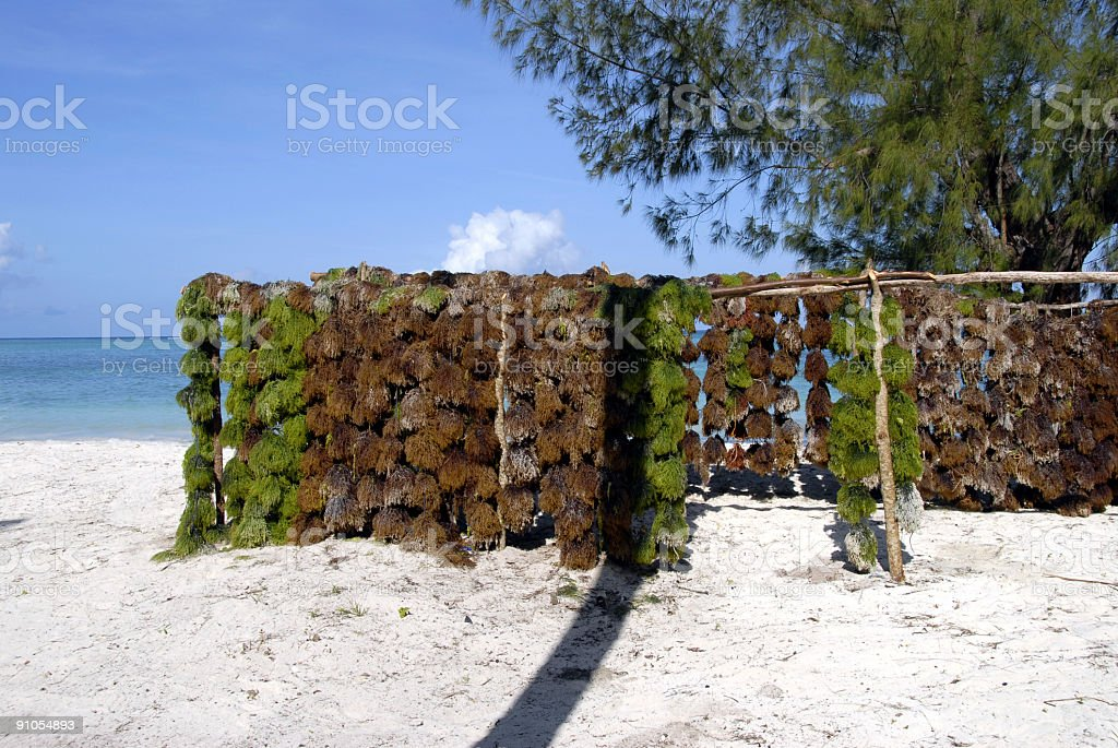 Seaweed is drying royalty-free stock photo