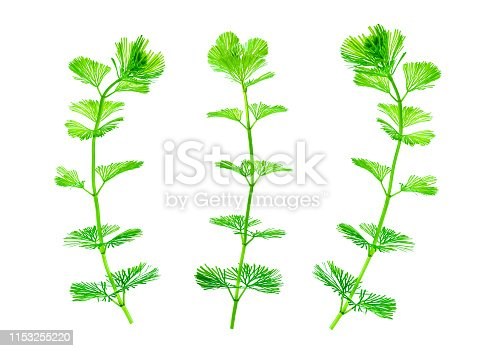 istock Seaweed isolated on white pure background. Green kelp for decoration fish tank. 1153255220