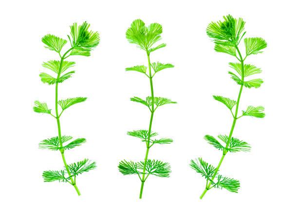 algas aisladas sobre fondo blanco puro. alga verde para la decoración pecera. - algas fondo blanco fotografías e imágenes de stock