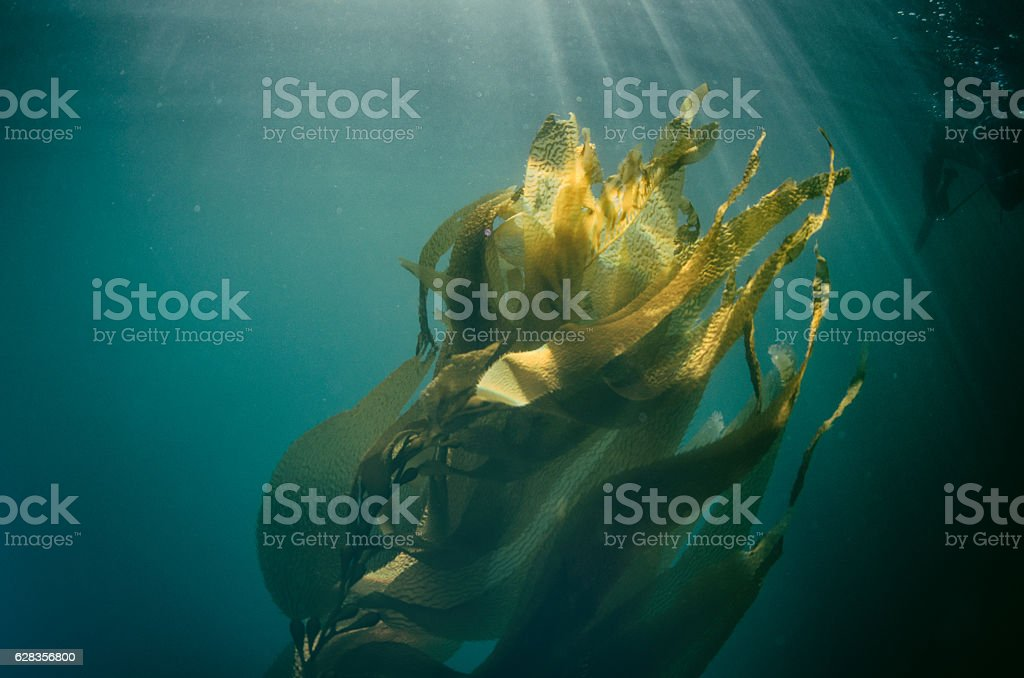 Seaweed moving in the sunlight with spear fisherman stock photo