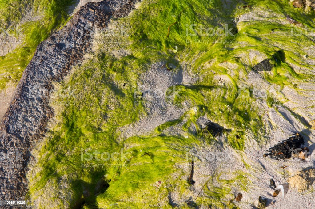 Seaweed on a rock at the sea stock photo