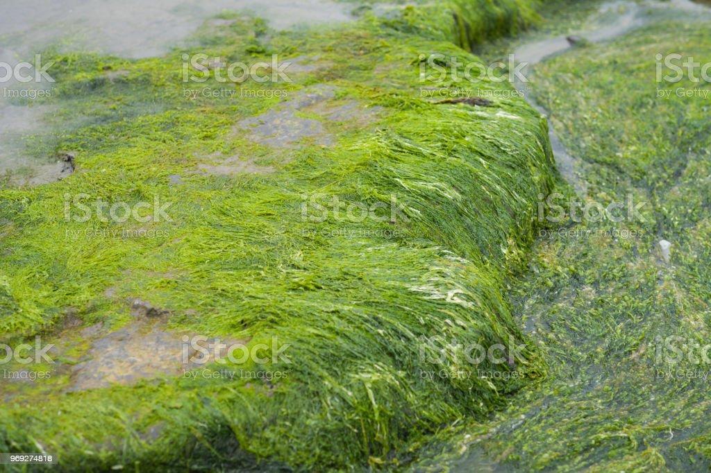 Seaweed on a Rock. stock photo