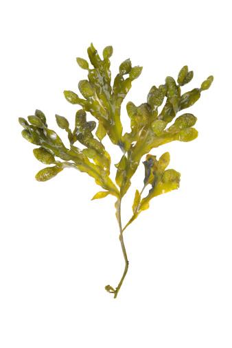 seaweed shot on white