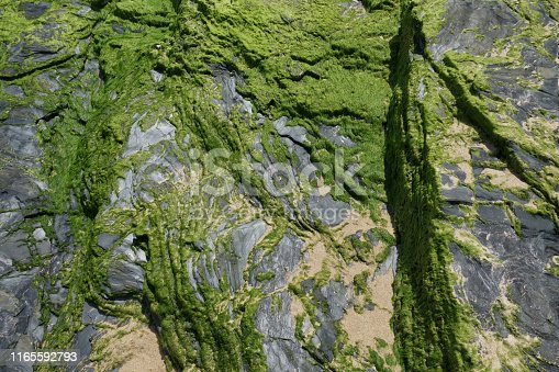 Green seaweeds stick to grey rock on the beach