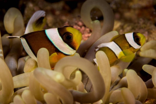 sebae anemonefish fish sebae anemonefish fish anemonefish stock pictures, royalty-free photos & images