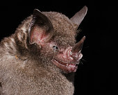 istock Seba's short-tailed bat 1212608580
