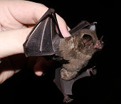istock Seba's short-tailed bat 1212609222