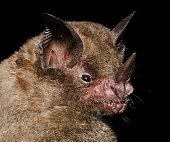 istock Seba's short-tailed bat 1212609350
