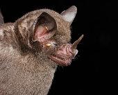 istock Seba's short-tailed bat 1212609398