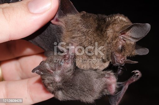 Young bat sucking on his mother Carollia perspicillata